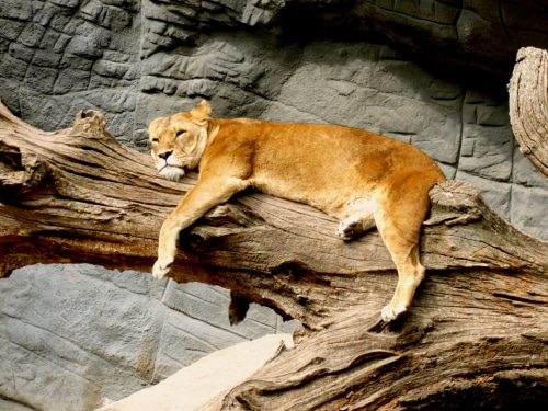 lioness-lying-on-brown